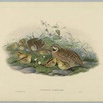 Coturnix Communis - Common Quail and Young