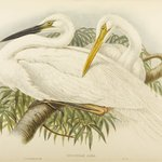 Herodias Alba - Great White Egret or Heron