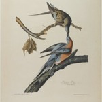Passenger Pigeon