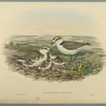 Aegialophilus Cantianus - Kentish Plover