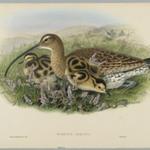 Numenius Arquata - Curlew