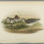 Totanus Glareola - Wood Sandpiper