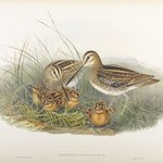 Gallinago Scolopacina - Common Snipe