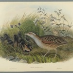 Crex Pratensis - Land Rail or Corn Crane