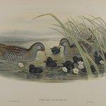 Porzana Maruetta - Spotted Crane