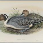 Dafila Avuta: Ducks