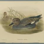 Chaulelasmus Strepera: Gadwell Ducks