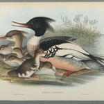 Mergus Serrator: Merganser