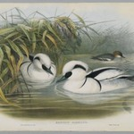 Mergus Albellus: Smew or Nun