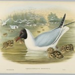 Chroicocephalus Ridibundus: Black Headed Gull