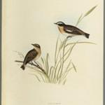 Saxicola Rubetra - Whinchat