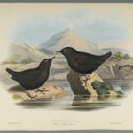 Cinclus Pallasi: Pallas Water Ouzel