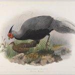 Euplocomus Lineatus: Lineated Pheasant