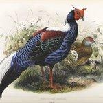 Euplocomus Swinhoei: Pheasant