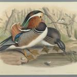 Aix Galericulata: Duck