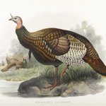 Meleagris Gallopavo: Wild Turkey