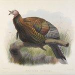 Meleagris Mexicana: Mexican Turkey