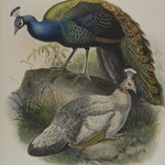 Pavo Nigripennis - Black Shouldered Pea Fowl