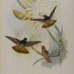 Aglaeactis Cupreipennis