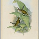 Phaethornis Pretrei