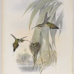 Phaethornis Eurynome