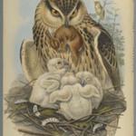 Bubo Maximus: Owl