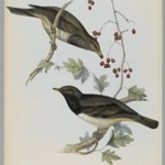 Turdus Atrogularis: Black Throated Thrush