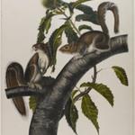 Carolina Grey Squirrel