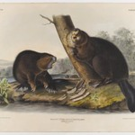 American Beaver