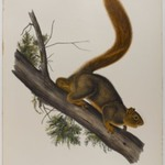 Brown or Norway Rat, Red-Tailed Squirrel