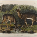 Common or Virginian Deer