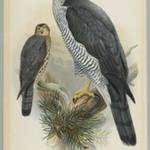 Astur Palumbarius - Goshawk
