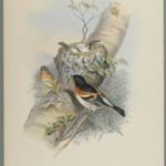 Fringilla Montifringilla - Bramblefinsh