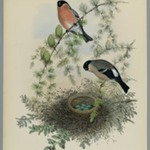 Pyrrhula Vulgaris - Bullfinch