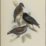 Sturnus Vulgaris - Starling