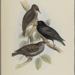 Sturnus Vulgaris - Starling