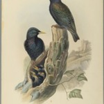 Starling: Sturnus Vulgaris, (Linn)