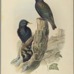 Starling: Sturnus Vulgaris, (Linn)