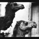 [Untitled] (Two Camels, North Africa)