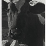 [Untitled] (Cow)