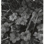 [Untitled] (Dew on Clover)