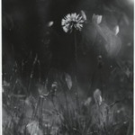 [Untitled] (Dandelion in Grass)