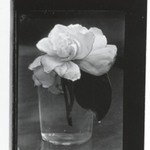 [Untitled] (Gardenia in Glass)
