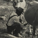 [Untitled] (Milking Cow, Tennessee)