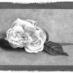 Single Pink Rose