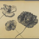 Untitled (Three Desert Poppies)