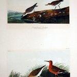 Semipalmated Sandpiper and Curlew Sandpiper