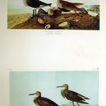 Red-backed Sandpiper and Pectoral Sandpiper
