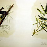 Pine Creeping Warbler and Solitary Flycather or Vireo