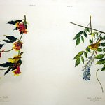Rathbone Warbler and Yellow-Poll Warbler